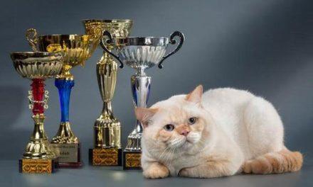 Кот на вязку — Mikado Emilio Chelsea (BRI)