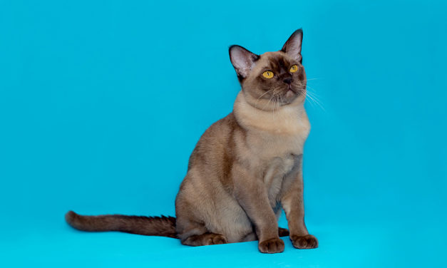 Бурма — Burmese cat, BUR, Shorthair