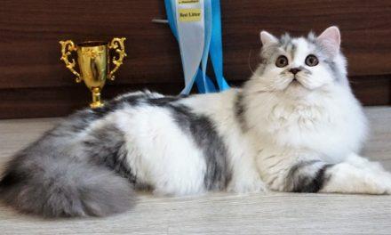 Кот на вязку — Ch. Williams Fabulous Felis (шотландская, хайленд страйт)