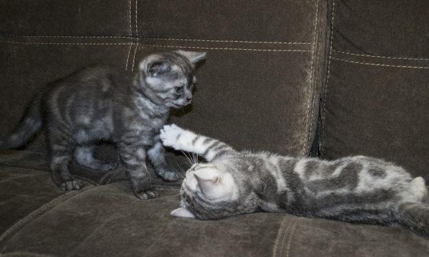 Британские котята из питомника Lanshery*s