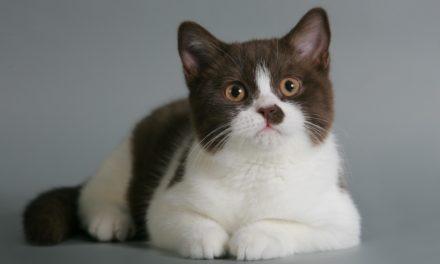 Британские котята из питомника Ellinweiss