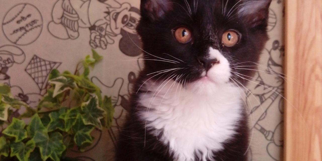 Котята Мейн-кун из питомника Barys-Freze