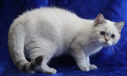 Британские котята серебристого окраса (ns 11 33 и ns 21 33) из питомника KisPerCarus