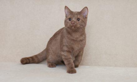 Британские котята редких окрасов — фавн и циннамон из питомника Ellinweiss