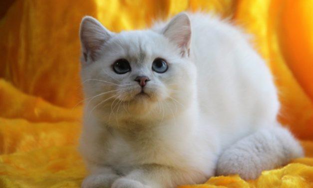 Британские котята из питомника британских шиншилл «KisPerCarus»