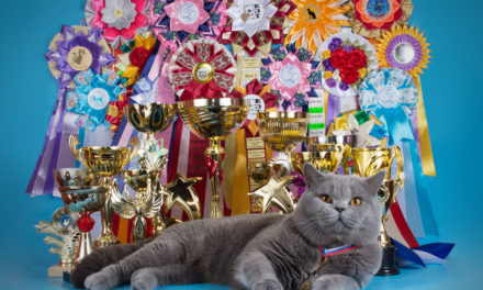 Кот на вязку — W.CH. (WCF) Number One Sweet Way*RU (British Shorthair)