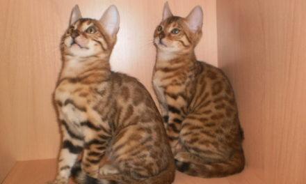 Бенгальская кошка — Bengal cat, BEN, Shorthair