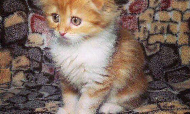 Шотландские котята — две кошечки