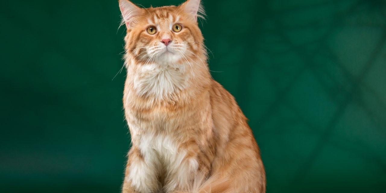 Кот на вязку — Yosia Richard Gold King (MCO d 23)