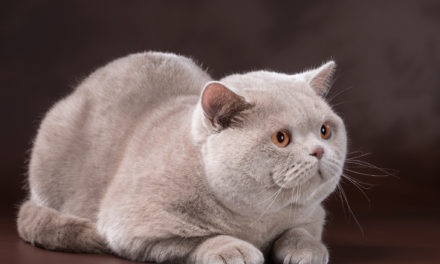 Кот на вязку — Milan Ellinweiss (BRI)