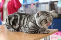 Кот на вязку - Ofelia Giorgio Armani Lansherys (British Shorthair)
