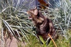 Кот на вязку - Sultan Bey Bars (MCO n 22) 11
