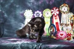 Кот на вязку - Sultan Bey Bars (MCO n 22) 12