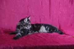 Кот на вязку - Sultan Bey Bars (MCO n 22) 2