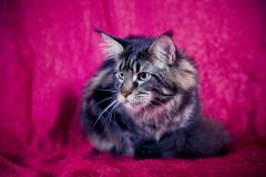 Кот на вязку - Sultan Bey Bars (MCO n 22) 3