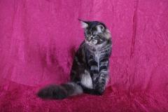 Кот на вязку - Sultan Bey Bars (MCO n 22) 4