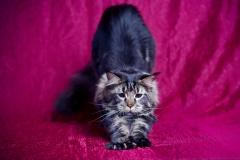 Кот на вязку - Sultan Bey Bars (MCO n 22) 5