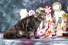 Кот на вязку - Sultan Bey Bars (MCO n 22) 6