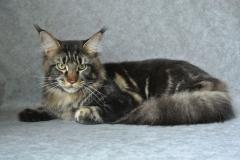 Кот на вязку - Sultan Bey Bars (MCO n 22) 7