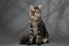 Кот на вязку - Sultan Bey Bars (MCO n 22) 9