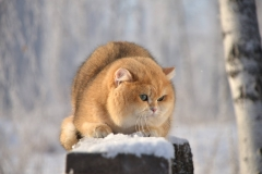 Питомник британских кошек «Brillien»