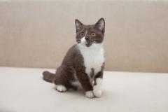 Британские котята ярких окрасов из питомника Ellinweiss