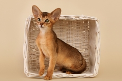 Абиссинские котята из питомника Hecate (Новосибирск)