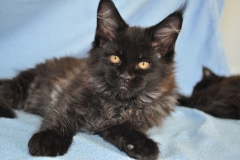 Котята Мейн-кун из питомника Black&Blue