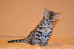 Котята - Бенгальские котята (29.07.2016)