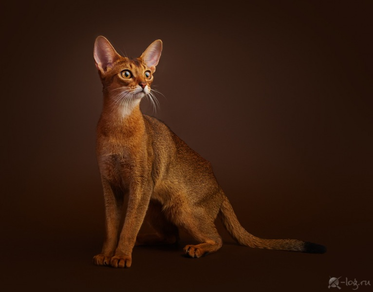Abyssinian cat - Hecate - Ekaterina Alekseevna Hecate (s12a0265)