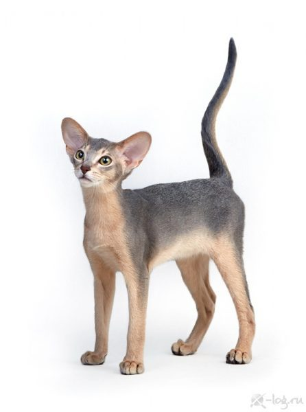 Abyssinian cat - Hecate - Rigoletto aus Abusir (unnamed-file)