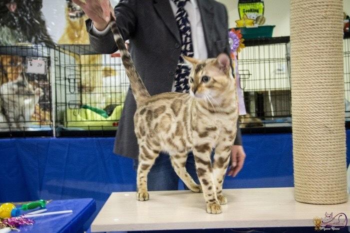 Bengal cat - Verification - BENNVOYAGEE RAGNAR (625315FC-08A2-4655-8245-90AC3B73DA74)