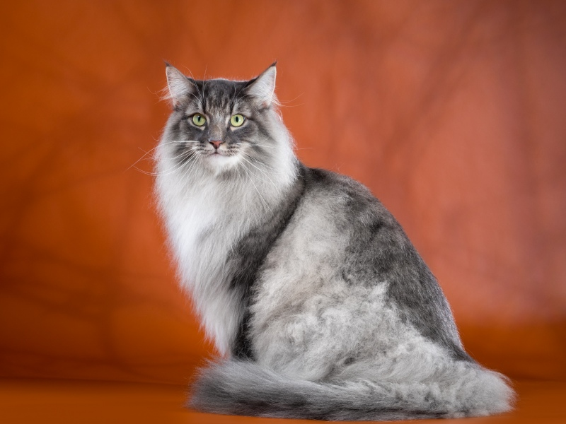 Norwegian Forest cat - Fashion Peak - Cousteau on Fashion Peak (3897)