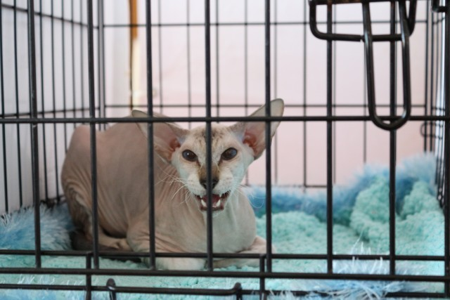 Peterbald - Country Desiree - Florenc Country Desiree (IMG_2909)