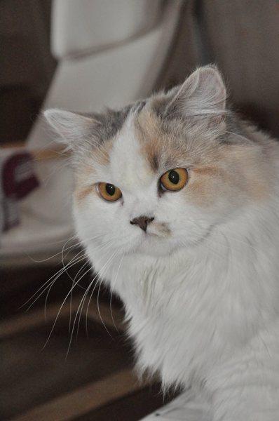 Scottish Straight cat - Purpur - Лефори Де Нинель Бусинка (0_b5c1a_d7af569e_orig)