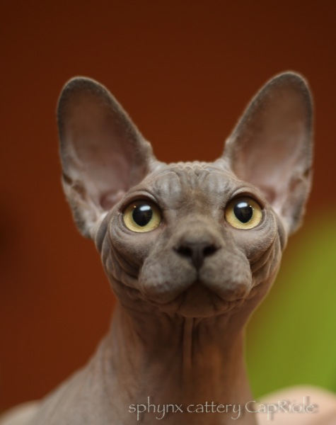 Sphynx cat - CapRiole - Bastet-Max Uno (5F2B3148)