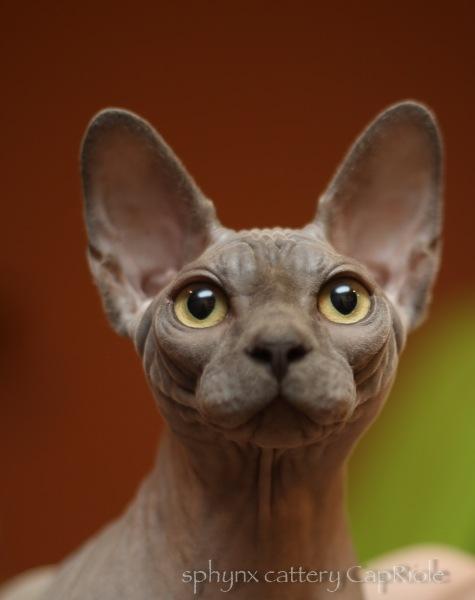 Sphynx cat - CapRiole - Bastet-Max Uno (5F2B3148)