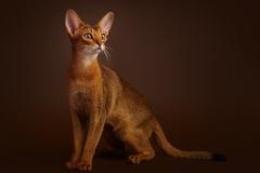 Abyssinian cat - Hecate - Ekaterina Alekseevna Hecate (s12a0265)