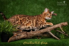 Bengal cat - CleoBenKs Corporation - CleoBenKs Corporation ELIOT GOLDEN SHINE (bXLB2Zl2Ei4)