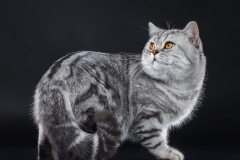 British Shorthair - - Teodor Lord Silver Estate Melli (8947_internet)