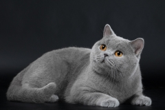 British Shorthair - Just Enjoy - Biscuit Cat's F-Philips Fashion (Philips)