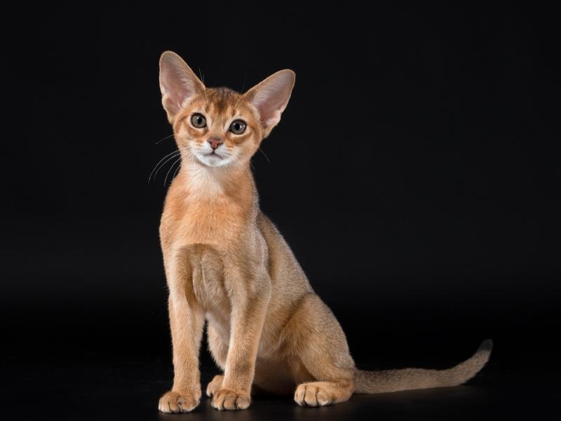 Abyssinian cat - Vita tesoro - Naomi of Vita tesoro (9210)