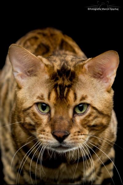 Bengal cat - RossChant - Manglar Zooey (7)