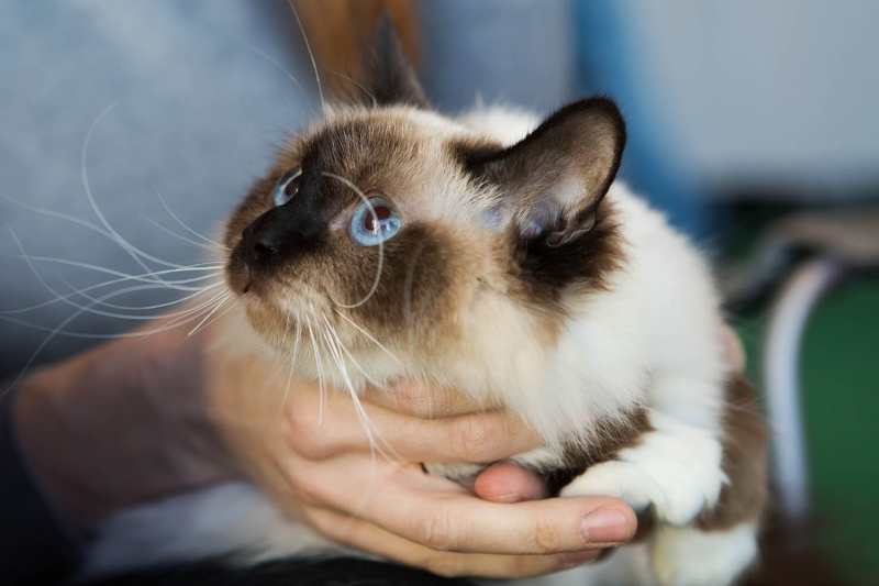 Birman (Sacred Cat of Burma) - Charming Point - Кора Элегант (2016-01-12-Kora)