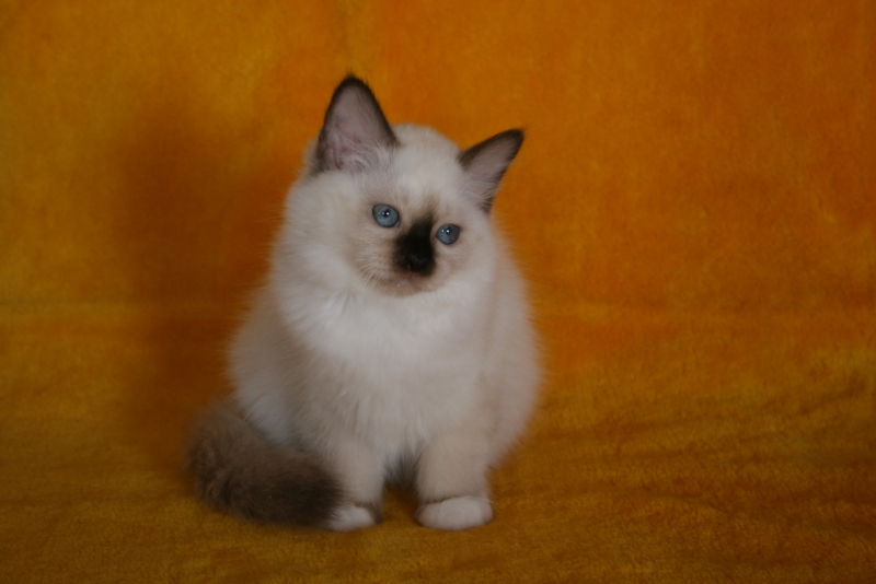 Birman (Sacred Cat of Burma) - Charming Point - Daniella Charming point (IMG_8811)