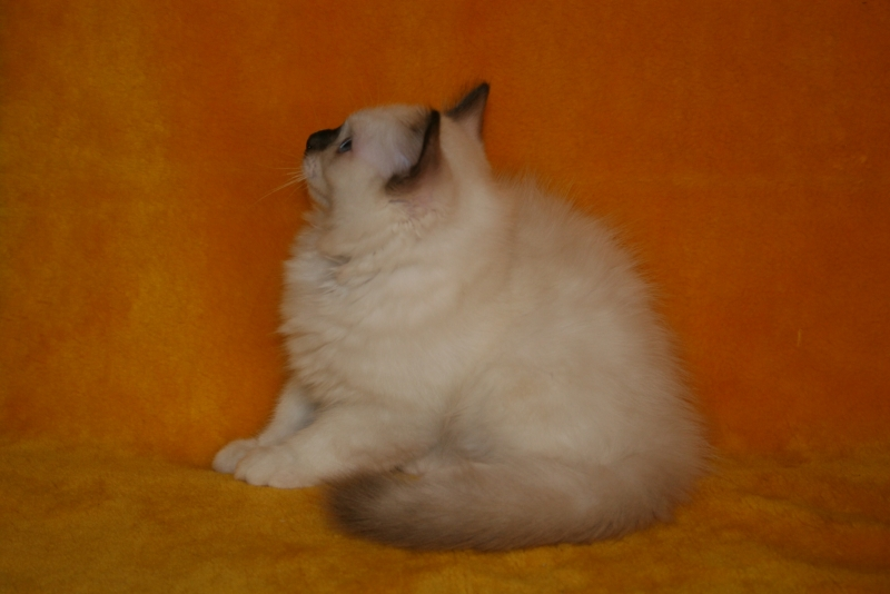 Birman (Sacred Cat of Burma) - Charming Point - Diesel Charming point (IMG_8865)