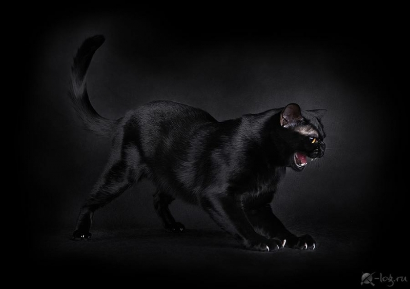 Bombay cat - BlackLabel-s - Arkanzas Dream Boy of Sweet Life (5BA2D670-DD8E-49B5-B319-13D8A481CAB0)