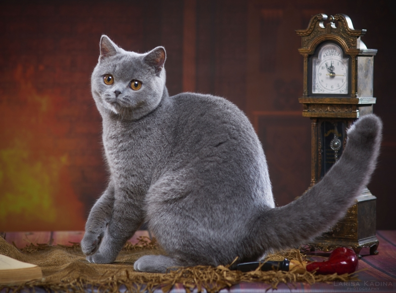 British Shorthair - Just Enjoy - Just Enjoy Bohemian Rhapsody (JE-Bohemian-Rhapsody-1)
