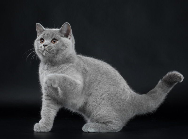 British Shorthair - Just Enjoy - Just Enjoy Cagliostro (JE-Cagliostro-2)