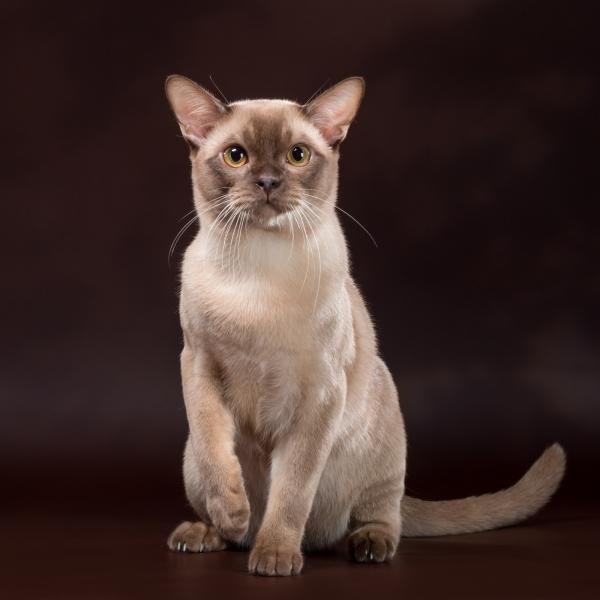 Burmese cat - - MUR Aversano Ferrari (AAM_5058)